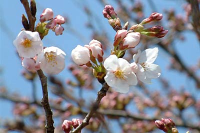 The Yoshino cherry tree of the Sanjo city public welfare welfare Hall parking lot that flowered on April 6.